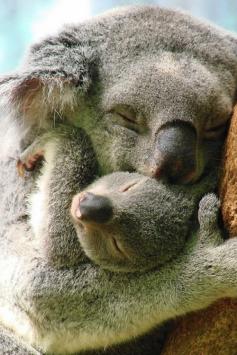 Koala Snuggle photo by Paula Longshore