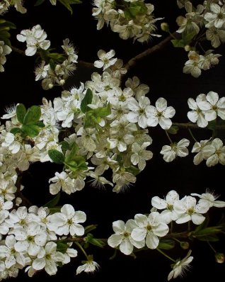cherry-blossom-lowres
