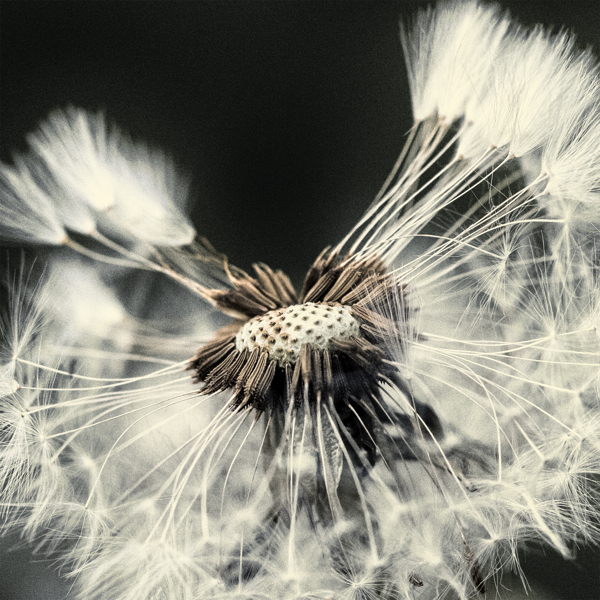 Taraxacum Seed Head Series by Photographic and digital editing by Chaotic Atmospheres