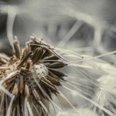 dandelion5