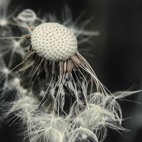 dandelion6
