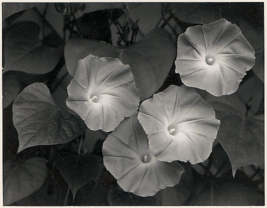 Morning Glories, Massachusetts Ansel Easton Adams (American, San Francisco, California 1902–1984 Carmel, California)
