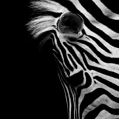 Zebra - photo by Nicolas Evariste