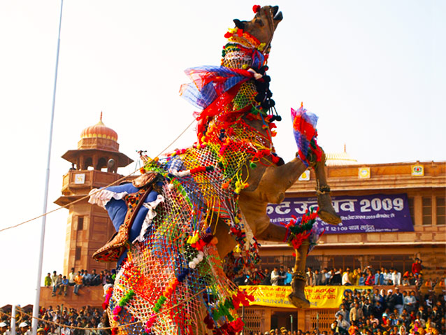 A Came at the Bikaner Camel Festial