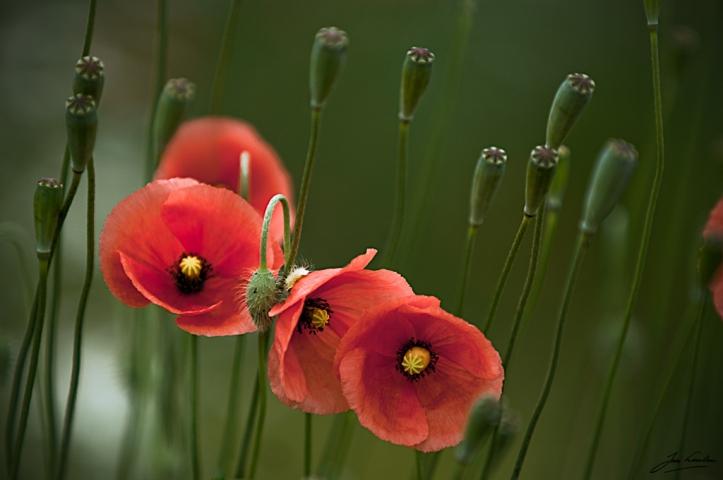 Poppy III by Jan Linskens