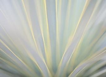 Radiating Yucca