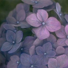 Dark Hydrangea