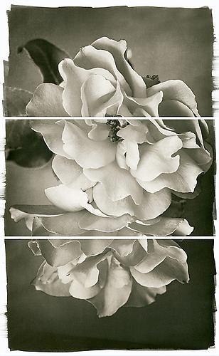 Rose Duet -  Platinum/Palladium print by Brigitte Carnochan